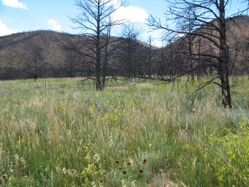 meadow following fire