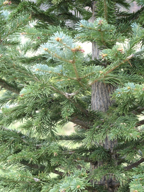 native cork-bark fir